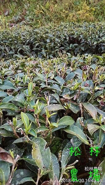 松林農場20180330茶樹發芽