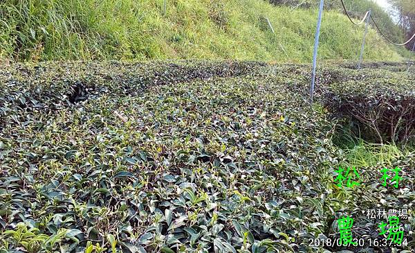 松林農場20180330除草後的茶樹