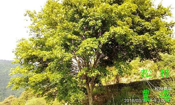松林農場20180331茶園漂亮的楓樹