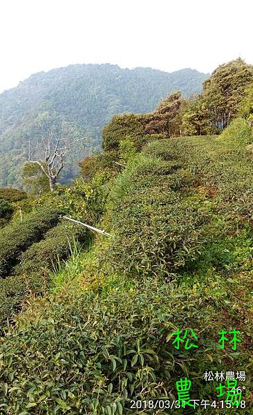松林農場20180331除草後的茶樹