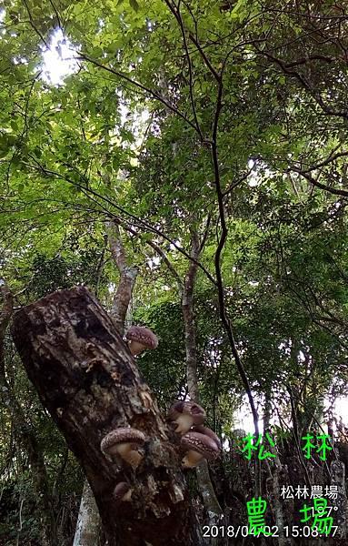 松林農場20180402野放木頭香菇