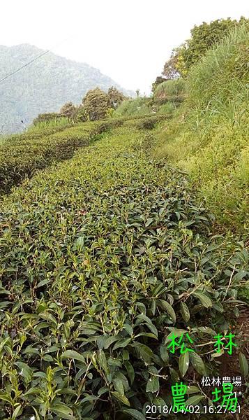 松林農場20180402茶芽