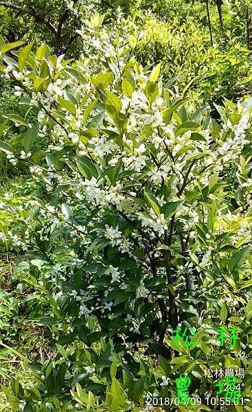 松林農場20180409香檬開花