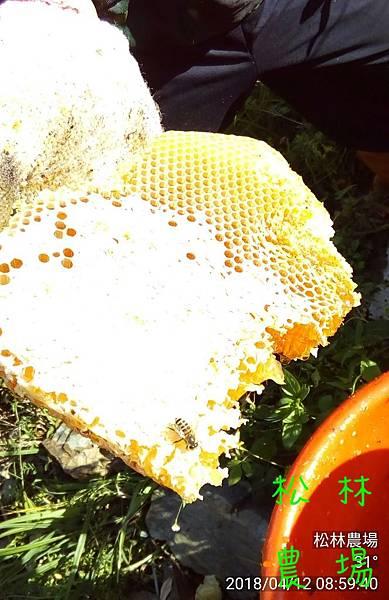 松林農場20180412採野蜜