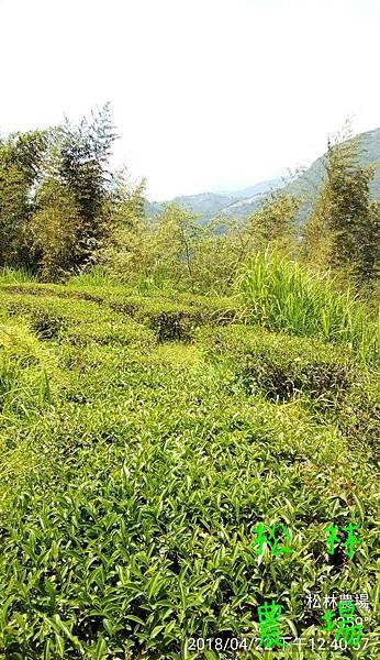 松林農場20180422茶園生態