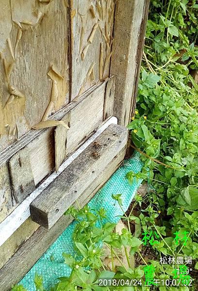 松林農場20180424野蜜蜂