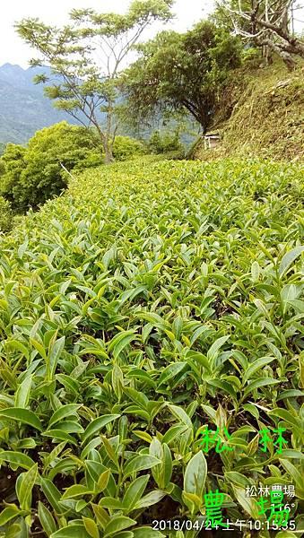 松林農場20180424茶芽