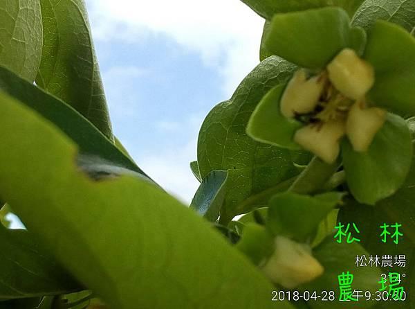 松林農場20180428甜柿開花