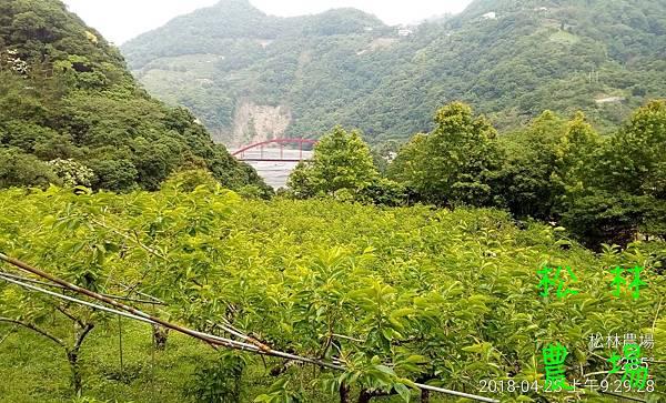 松林農場20180428_甜柿開花