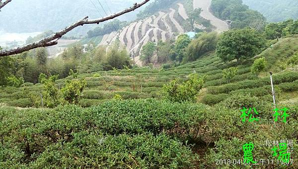 松林農場20180428_砍草後的茶園