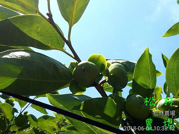 松林農場20180604甜柿果實