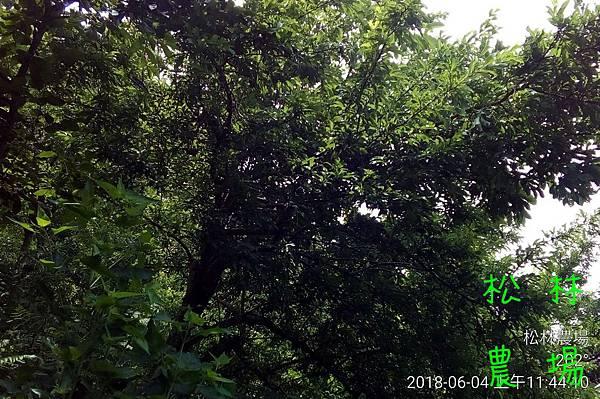 松林農場20180604_114410.jpg