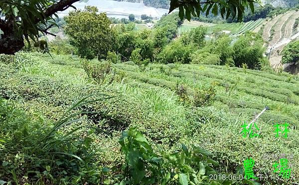 松林農場20180604_茶園