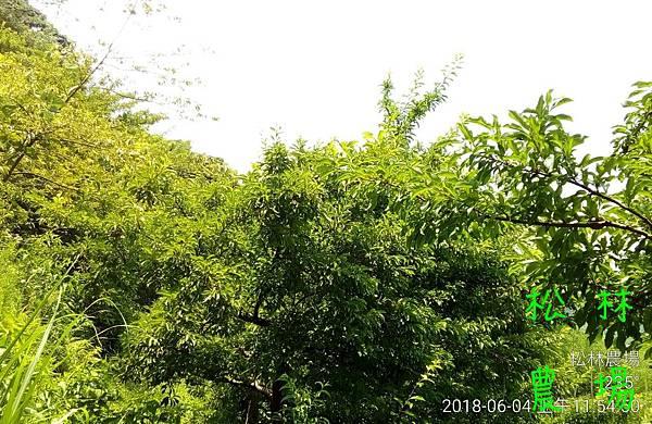 松林農場20180604_紅肉李