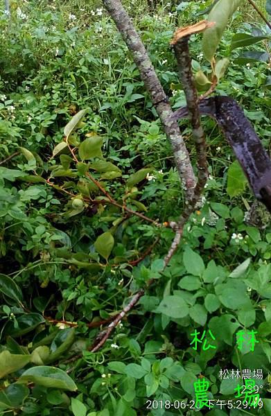 松林農場20180620猴子來偷吃甜柿,連枝條都扯斷