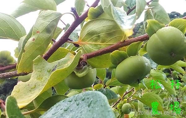 松林農場20180621_甜柿