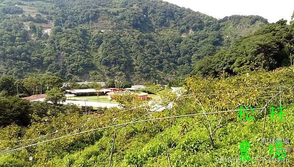 松林農場20180807_甜柿區