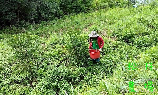 松林農場20180812_果樹區下有機肥