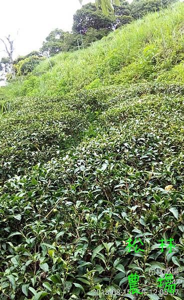 松林農場20180815_茶樹修剪完成