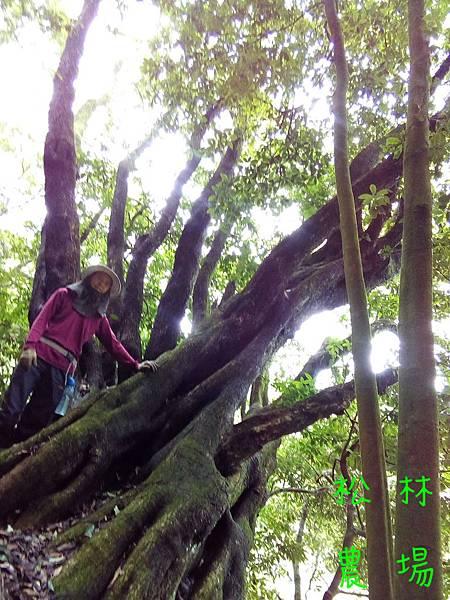 20180831茶園水源頭路上的大樹