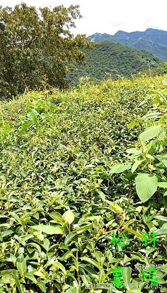 松林農場20180831茶園