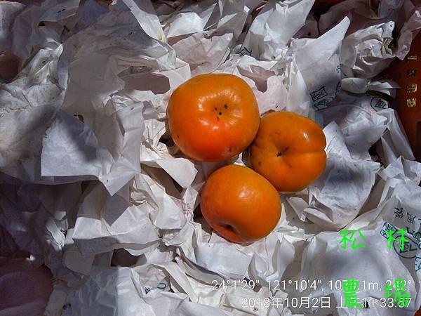 松林農場20181002_採收甜柿