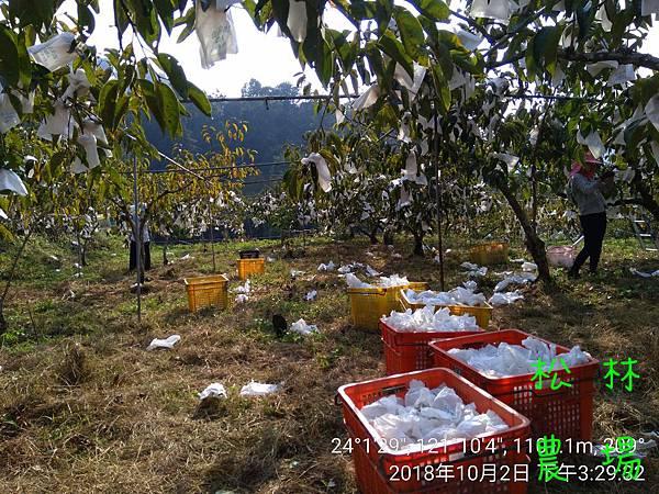松林農場20181002採收甜柿