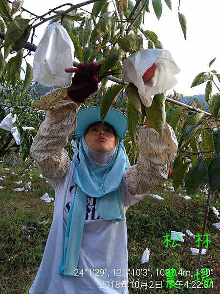 松林農場20181002愛呷團隊幫忙採收甜柿