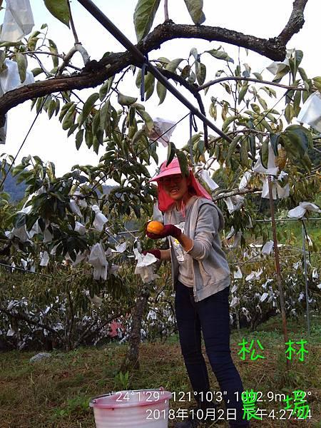 松林農場20181002_愛呷團隊幫忙採收甜柿