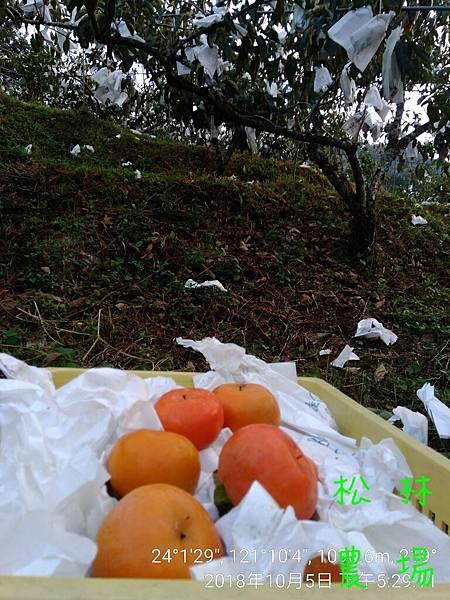 松林農場20181005_採收甜柿