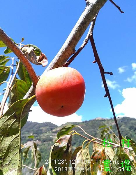松林農場20181014熟的甜柿