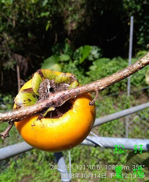 松林農場20181014甜柿上的螞蟻窩