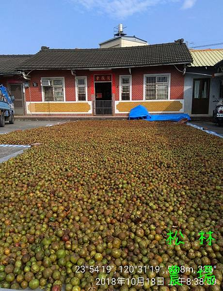 松林農場20181018曬苦茶籽