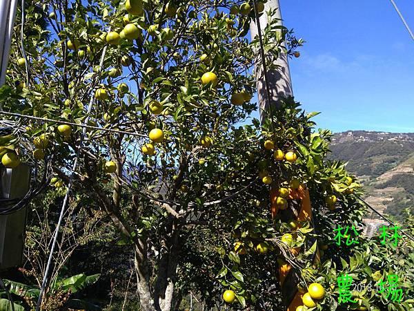 20181030茶園唯一一棵的原生柳丁