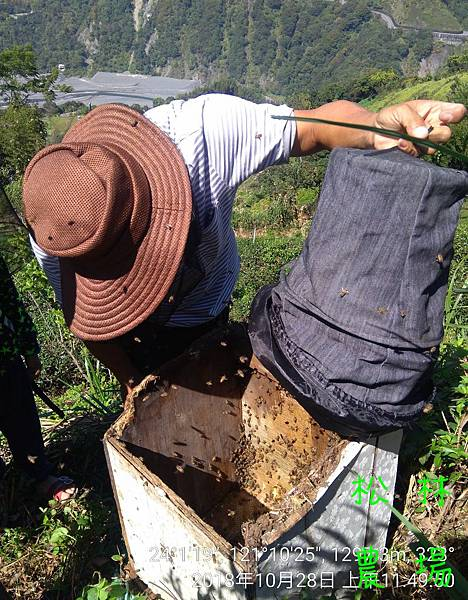 松林農場20181028採野蜜,收野蜂