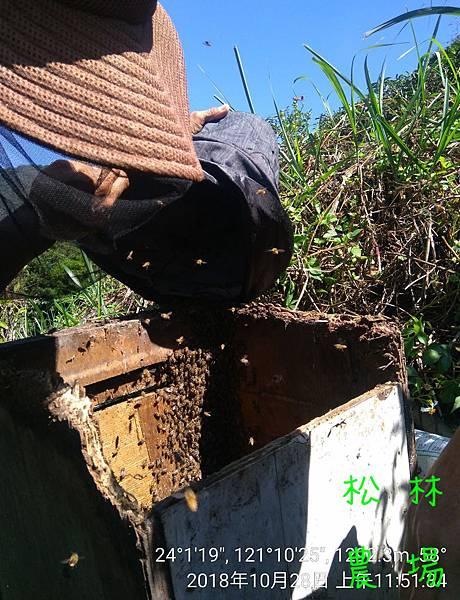 松林農場20181028_採野蜜,收野蜂