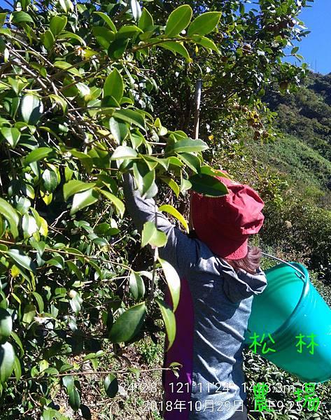 松林農場20181029採苦茶籽