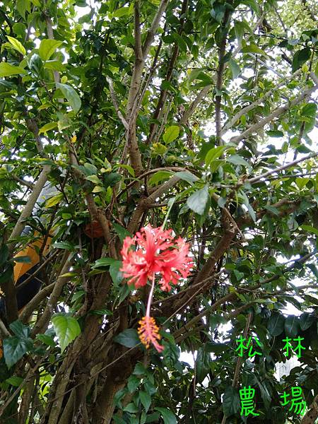 P_20190402傳統的燈籠花