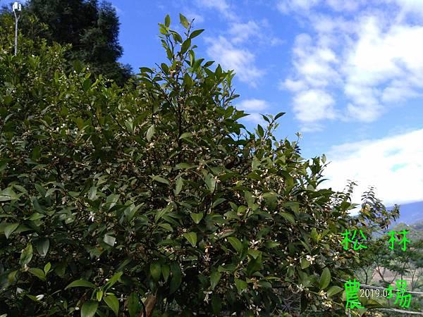 20190417茶園果樹區的香檬樹