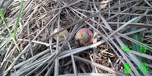 20190423茶園裡的水蜜桃吸引鹿角金龜子