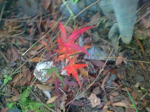 2011.1.10國賓種的楓樹