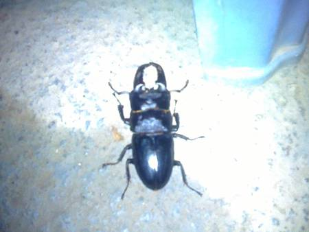 農場晚上的鍬形蟲[6公分]