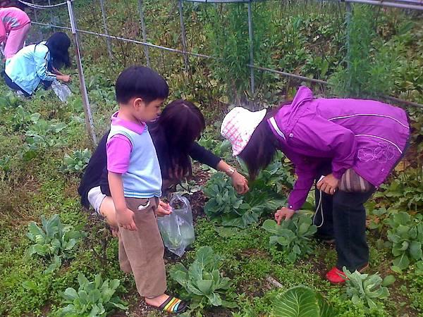 採高麗菜芽