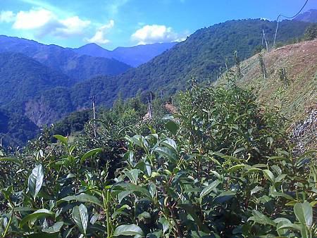 農場自然農法管理的茶園