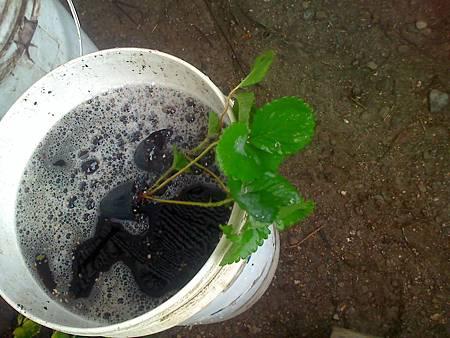 草莓種植前用環科1號及木質素處理