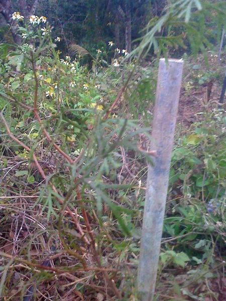 2011.1.10剛種的肖楠