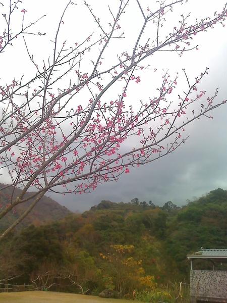 太魯灣的櫻花開了