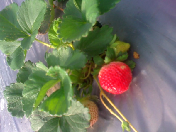 2010.12月草莓紅了