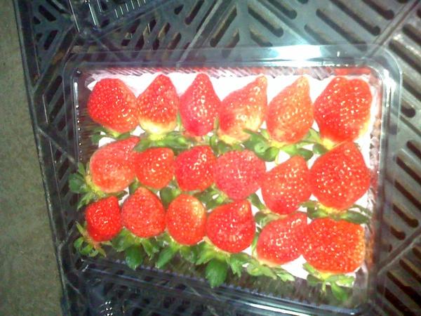 採收的草莓