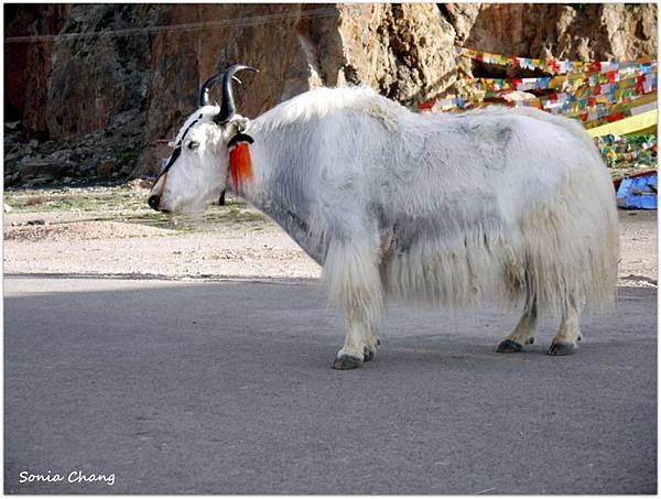 西藏。在天邊!《好福氣–世界神山日.慶德鄉望果節!》13